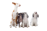 Ibizan hound,chinese temple dog and two toy dogs poster