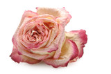 Withered rose isolated over white background poster