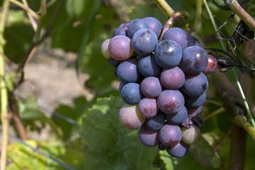 Pinot Noir Trauben, Burgund,Frankreich