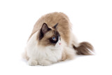 purebred cat isolated on white poster