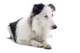 shetland sheepdog isolated on white poster