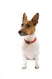 jack russel terrier poster