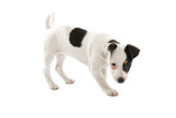 jack russel terrier puppy poster