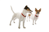 two jack russell terrier dogs poster