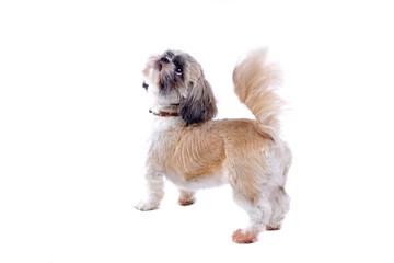 shih tzu dog isolated on white