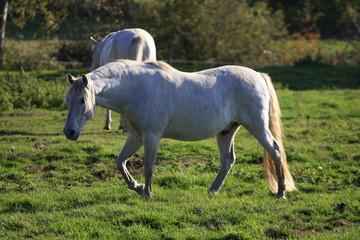 cheval blanc camarguais