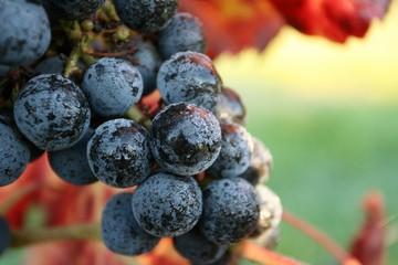 grappe de raisins vignoble automne