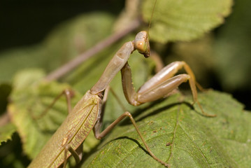 Mantid sitting on a green leaf