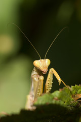 Angry mantid sitting on a green leaf