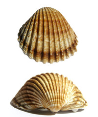 Isolated sea shell over white background