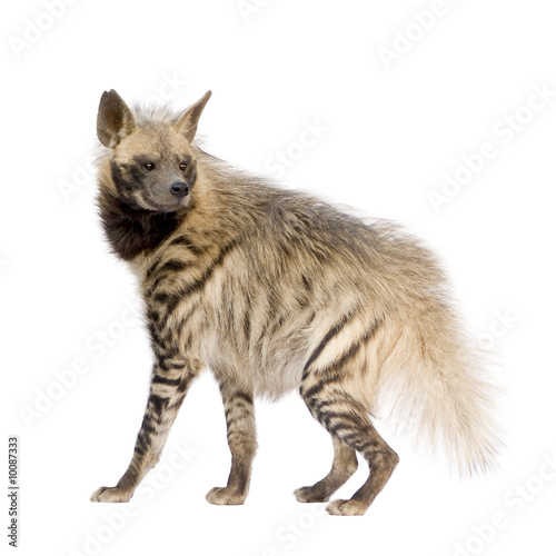 Papiers peints Hyène Striped Hyena in front of a white background