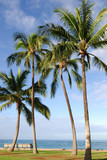 Tall coconut trees at  a beach in  Oahu, Hawaii poster
