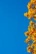 oak leaves on blue sky