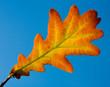 single oak leaf on blue sky