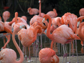 Large group of pink flamingos in zoo