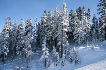 pini d'inverno