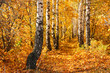 Birch autumnal alley. Sun weather. Nature background.