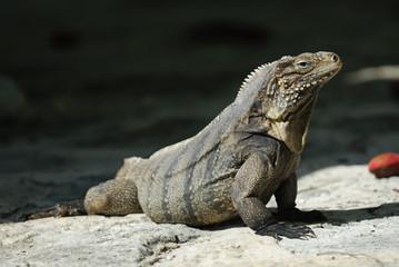 Wild Iguana of Caribbean Islands