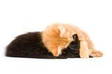 Two kittens snuggle down for a nap on a white background poster