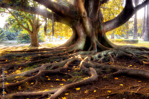 Leinwanddruck Bild Centenarian tree with large trunk and big roots above the ground