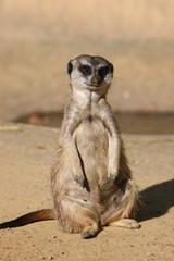 Suricate / Meerkat