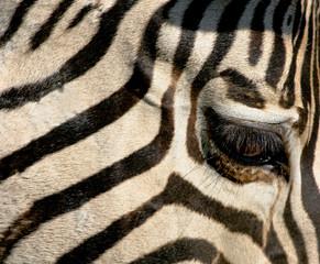 L'oeil du zebre
