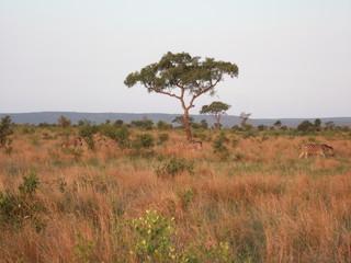 Marula Tree and Zebra