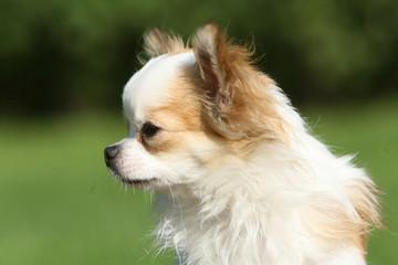 Chihuahua boudeur de profil