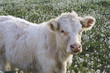 vitello al pascolo
