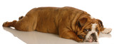 red brindle english bulldog stretched out lying down poster