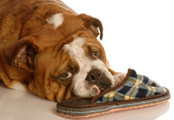 english bulldog resting with a favorite pair of slippers...