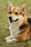 Portrait of beautiful dog . Cardigan Welsh Corgi . poster