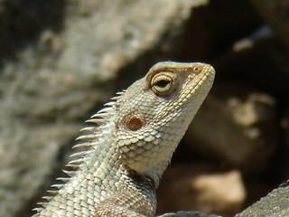 iguana silvestre