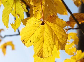 Gelbe Herbstblätter mit Insekten