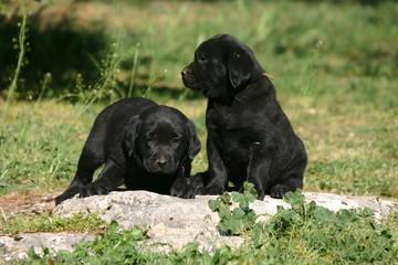 Deux petits chiots labradors noir craquants
