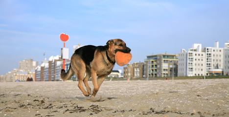 German Shepherd Dog ( Alsatian )