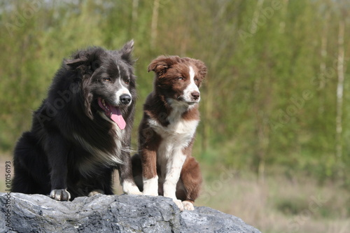 duo de border collie