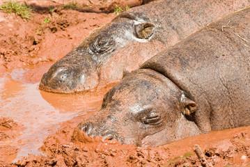 Pygmy Hippos in mud bath