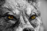 Fototapeta pies - niebezpieczeństwo - Dziki Ssak