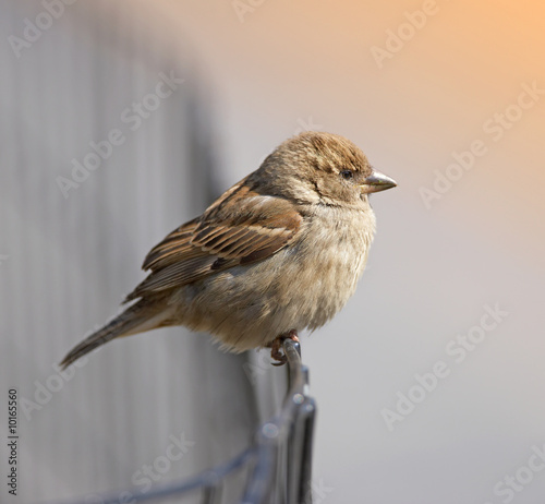 A photo of a sparrow an early, misty morning