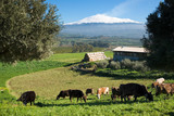 rural landscape with livestock and snowy volcano etna poster