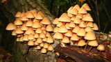 cluster of toxic mushroom poster