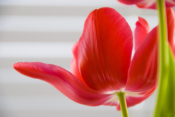 A red tulip in full bloom