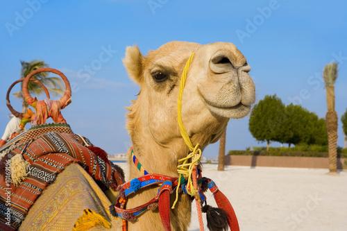 Fotobehang Dubai Dromedar
