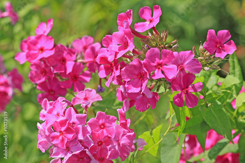 Close up of the pink phlox blossoms.