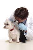 A veterinarian checking the ears of a white maltese terrier poster