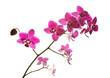 Orchidee Zweig rosa