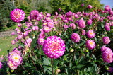 Fototapeta Dahlias roses dans un jardin.