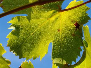 Weinblatt im Herbst mit Tautropfen