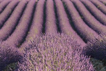 champ de lavandes en fleurs - France - Drome provencale
